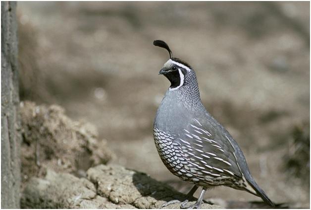 quail hunting stealth pod x
